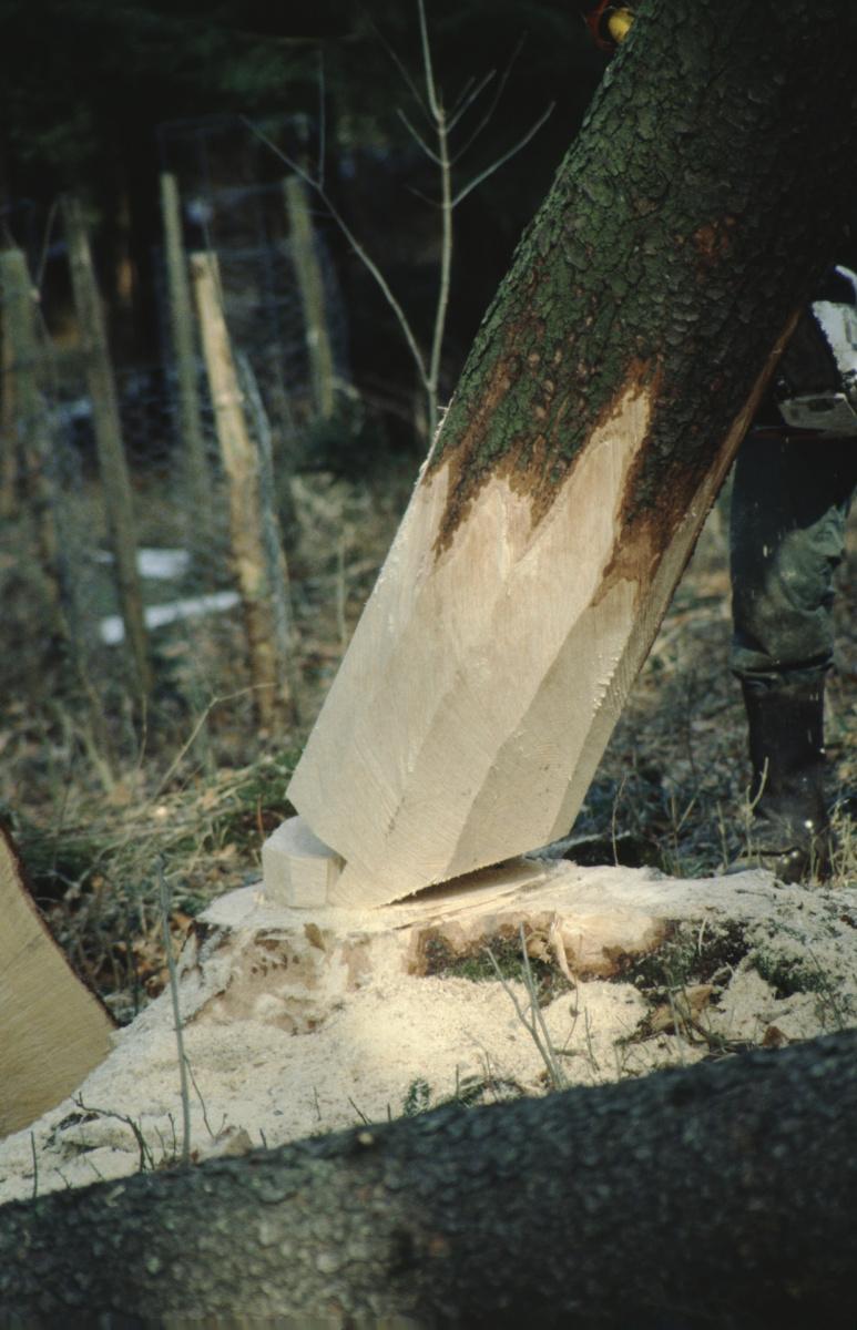 Bäume fällen, der Baum fällt