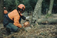 Bäume fällen, mit der Motorsäge fällen eines dünnen Stammes