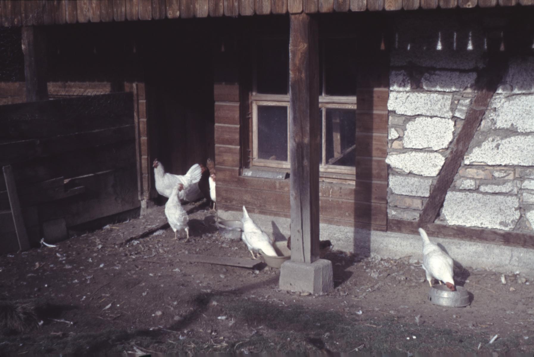 Schneebeli's Hühner