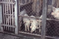 Schneebeli's Schweinestall