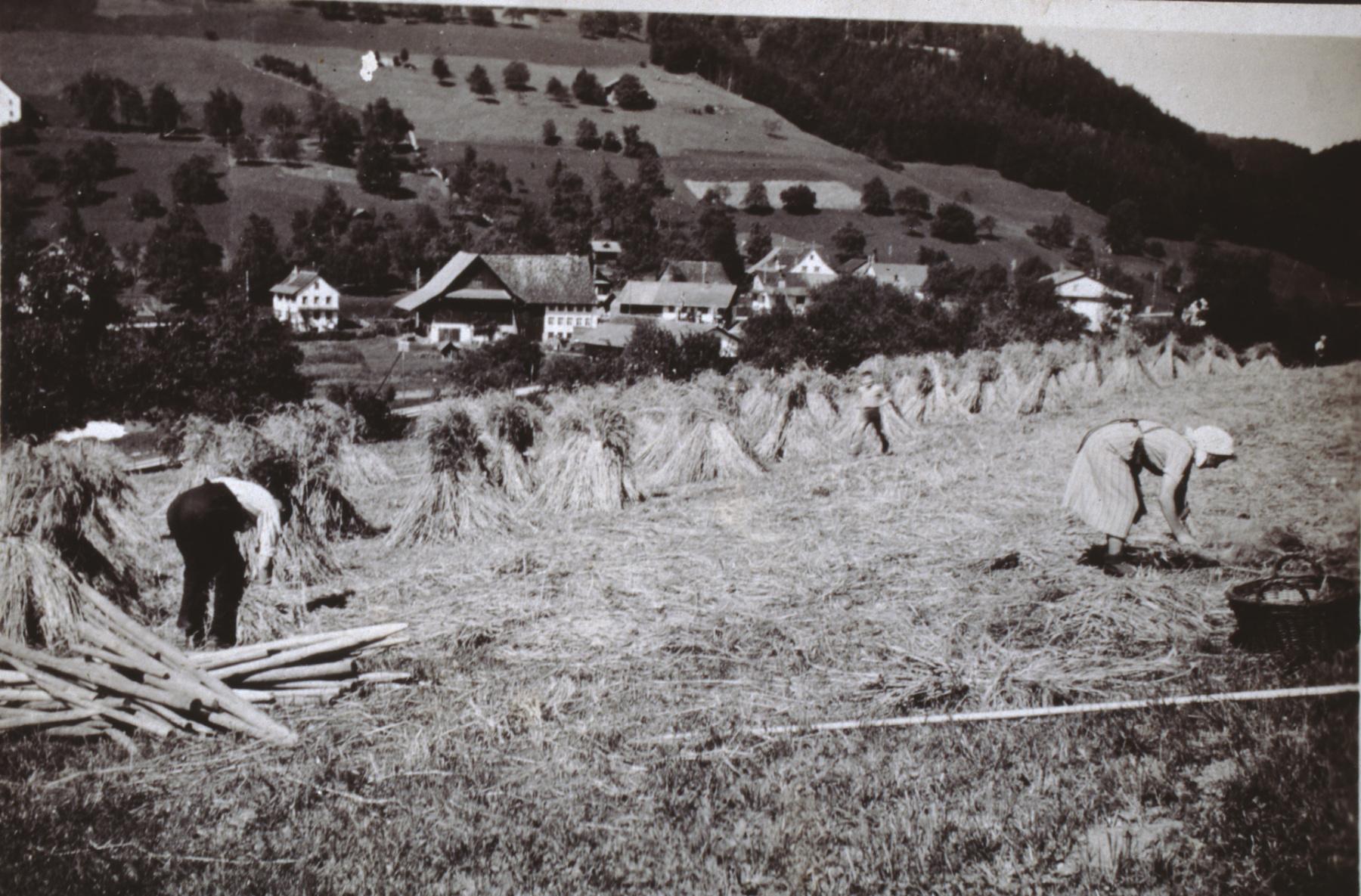 Bettswil. Sommer-Weizen, 7 Aren aufgepuppt