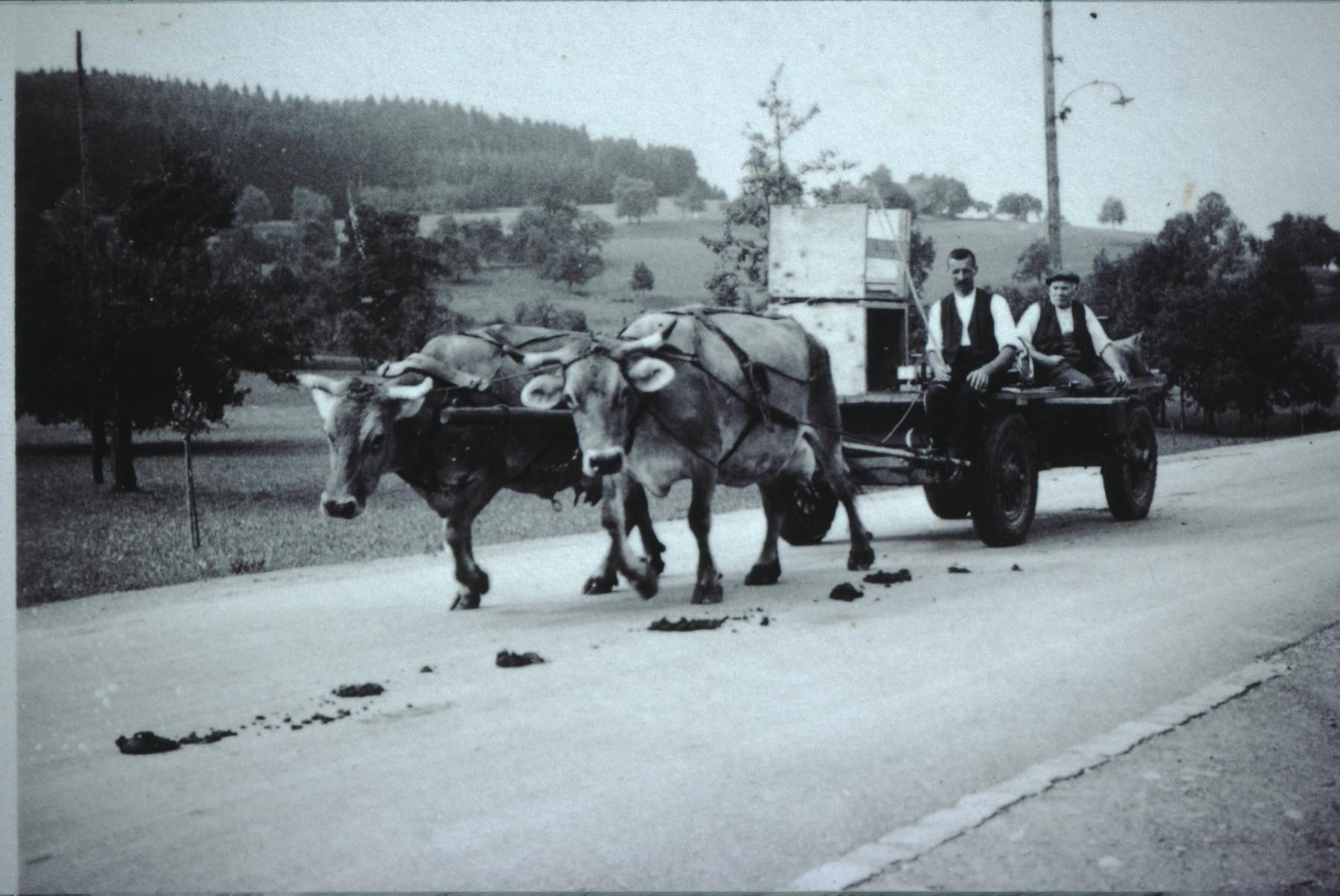 Kuh Mirta 4052, 1954 von Ueli's Grossvater Reiser gekauft