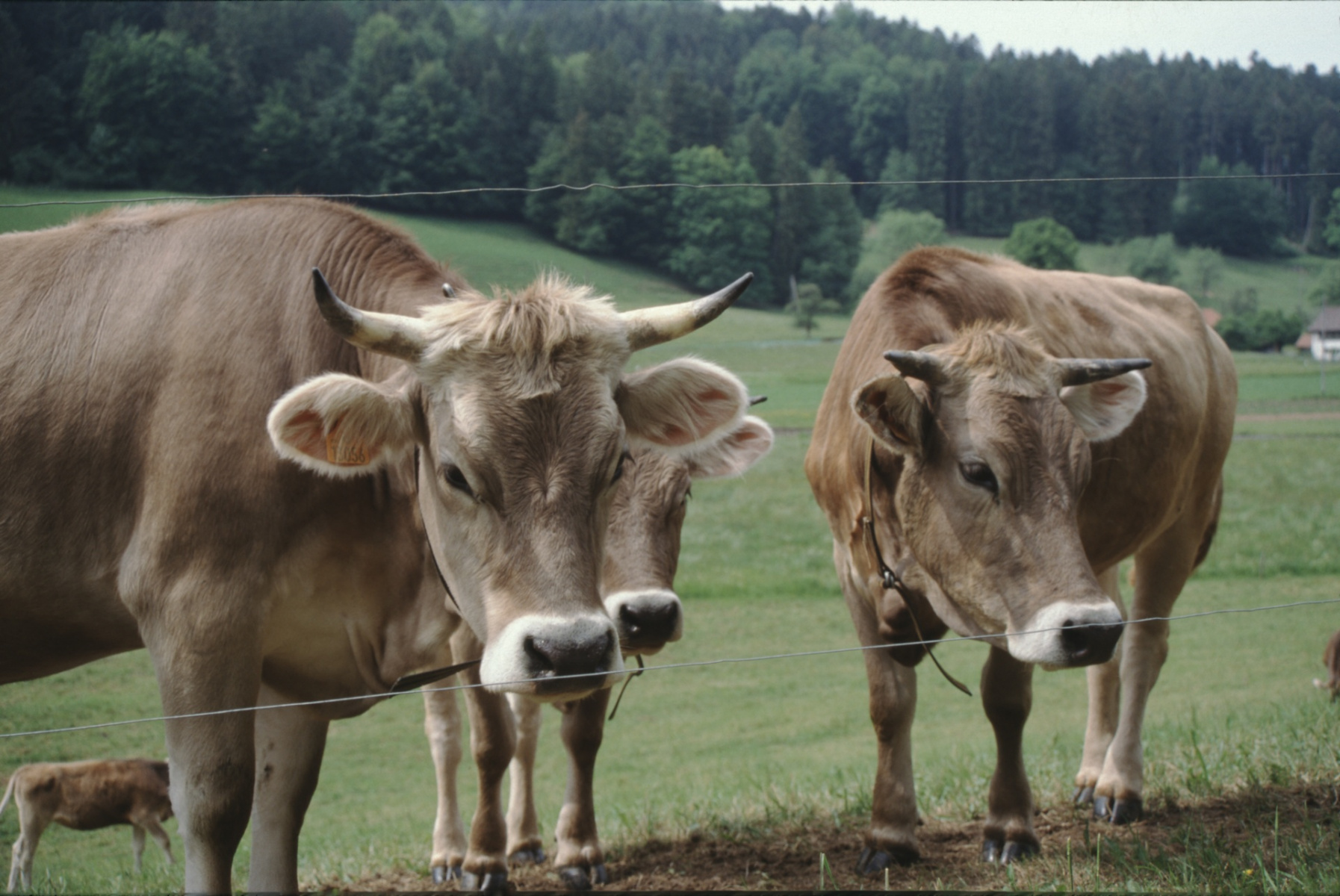 Landwirtschaft, Kühe, Strasse nach Hinterburg