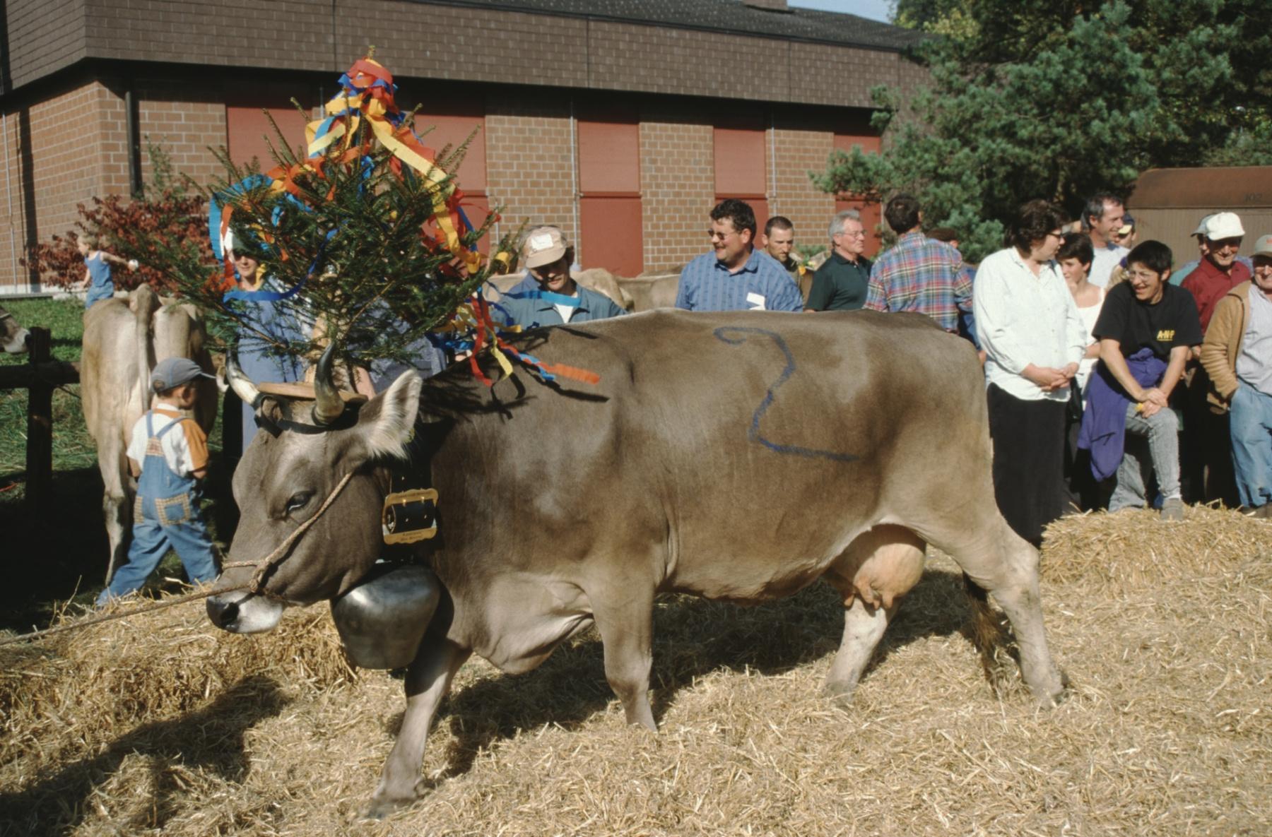 Viehprämierung, Miss Bäretswil erkoren von der Sagermannschaft