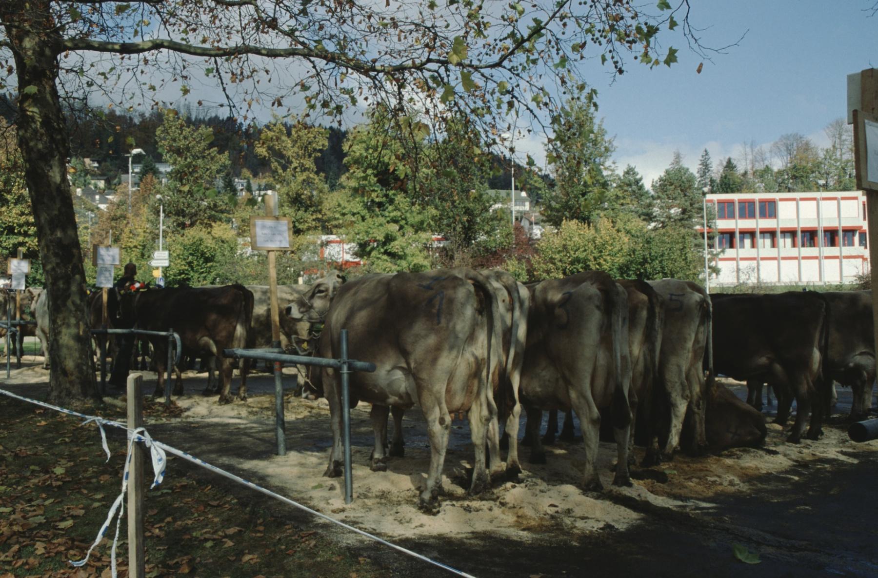 Viehschau 2007, Parkplatz Letten