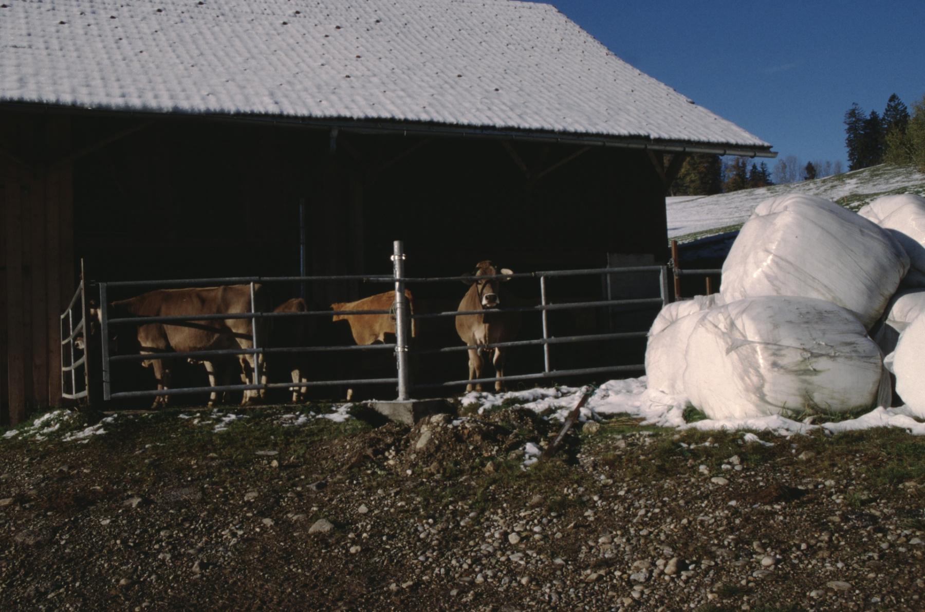 Moderne Landwirtschaft, Kühe öhne Hörner, verpacktes Heu