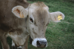 Kuh ohne Hörner