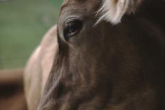 Landwirtschaft, schöne Kuh vom Bussenthal nach Hinterburg