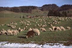Höhenstrasse nach Wapp. mit Schafherde