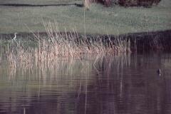 Sagiweiher mit Fischreiher